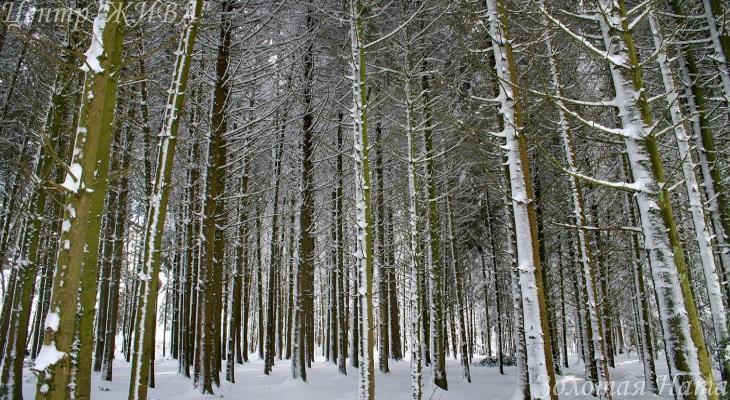 Снежный лес.