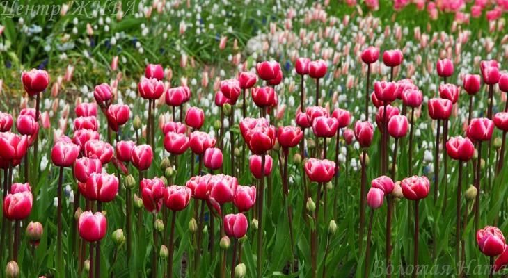 Обворожительные тюльпаны.